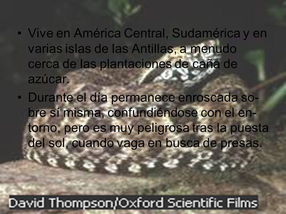 Vive en América Central, Sudamérica y en varias islas de las Antillas, a menudo cerca de las plantaciones de caña de azúcar. Durante el día permanece