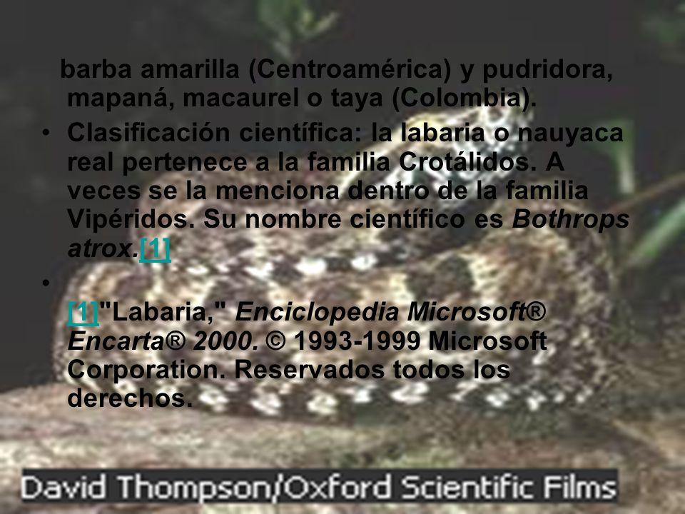 barba amarilla (Centroamérica) y pudridora, mapaná, macaurel o taya (Colombia). Clasificación científica: la labaria o nauyaca real pertenece a la fam