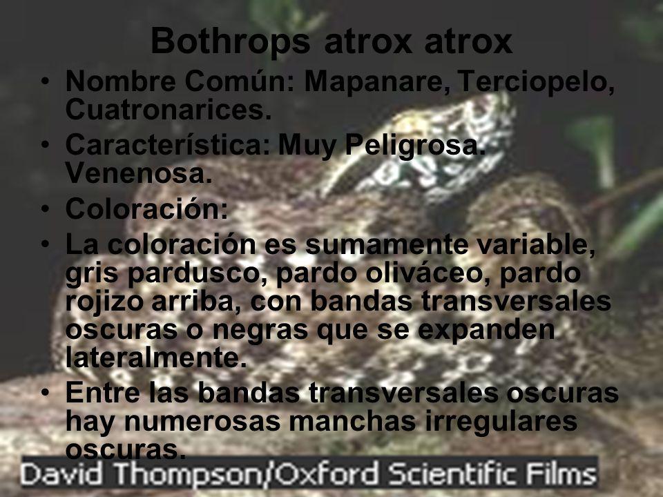 Bothrops atrox atrox Nombre Común: Mapanare, Terciopelo, Cuatronarices. Característica: Muy Peligrosa. Venenosa. Coloración: La coloración es sumament