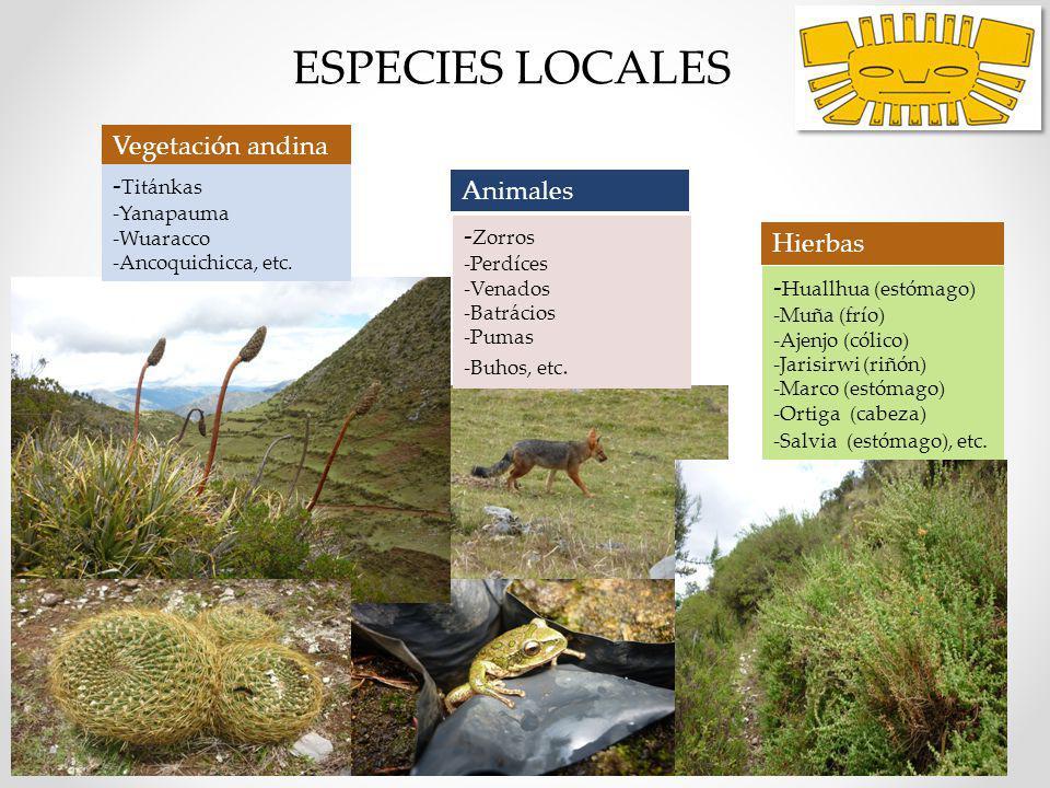 ESPECIES LOCALES girasol sapos Hierbas Medicinales - Huallhua (estómago) -Muña (frío) -Ajenjo (cólico) -Jarisirwi (riñón) -Marco (estómago) -Ortiga (c