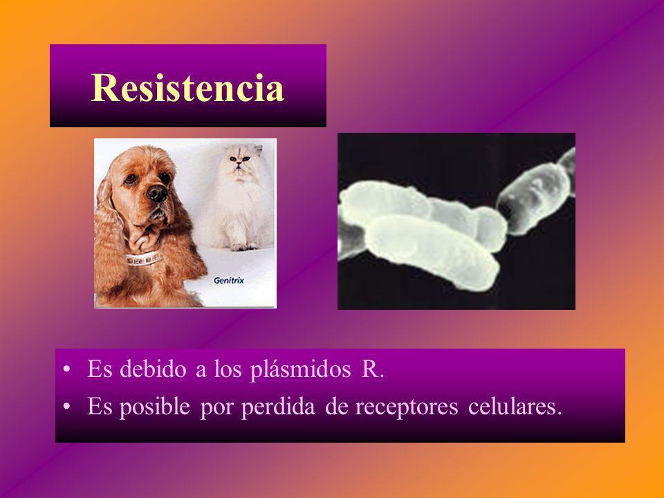 Resistencia Es debido a los plásmidos R. Es posible por perdida de receptores celulares.