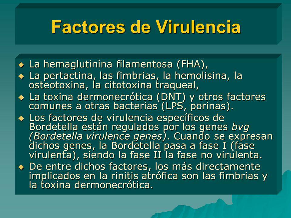 Factores de Virulencia La hemaglutinina filamentosa (FHA), La hemaglutinina filamentosa (FHA), La pertactina, las fimbrias, la hemolisina, la osteotox