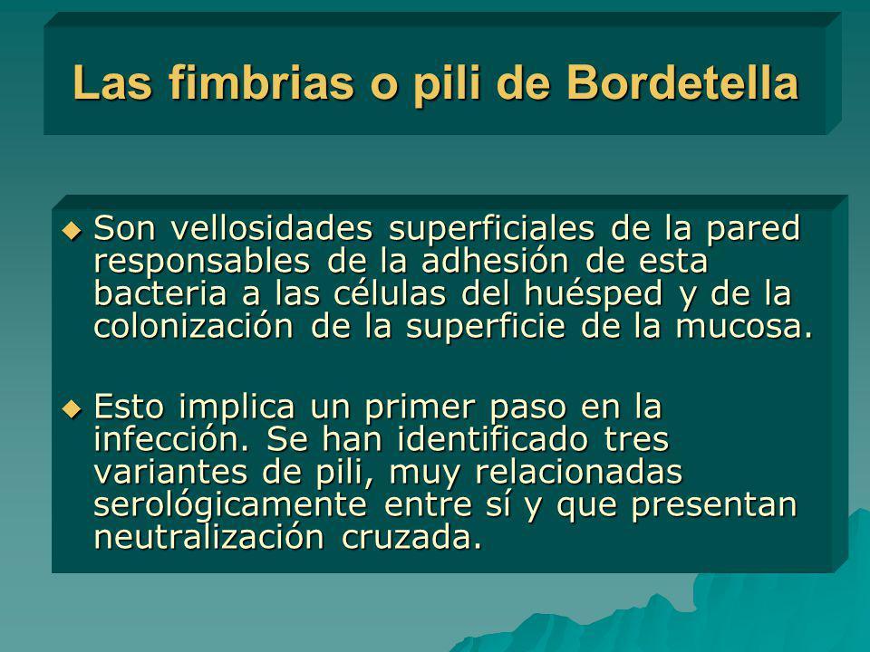 Las fimbrias o pili de Bordetella Son vellosidades superficiales de la pared responsables de la adhesión de esta bacteria a las células del huésped y