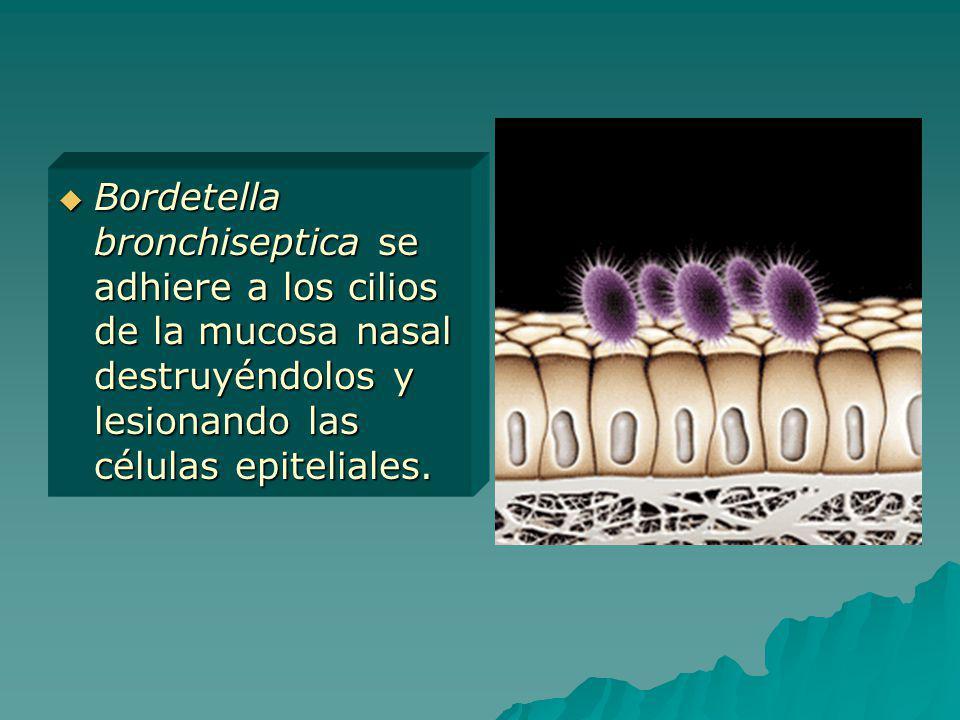 Bordetella bronchiseptica se adhiere a los cilios de la mucosa nasal destruyéndolos y lesionando las células epiteliales. Bordetella bronchiseptica se