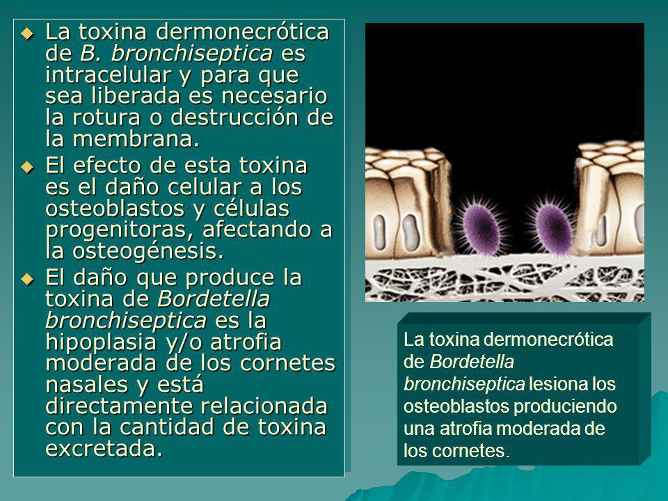 La toxina dermonecrótica de B. bronchiseptica es intracelular y para que sea liberada es necesario la rotura o destrucción de la membrana. La toxina d