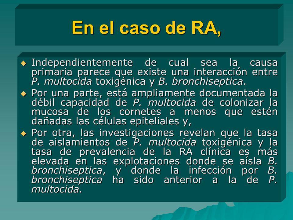 En el caso de RA, Independientemente de cual sea la causa primaria parece que existe una interacción entre P. multocida toxigénica y B. bronchiseptica