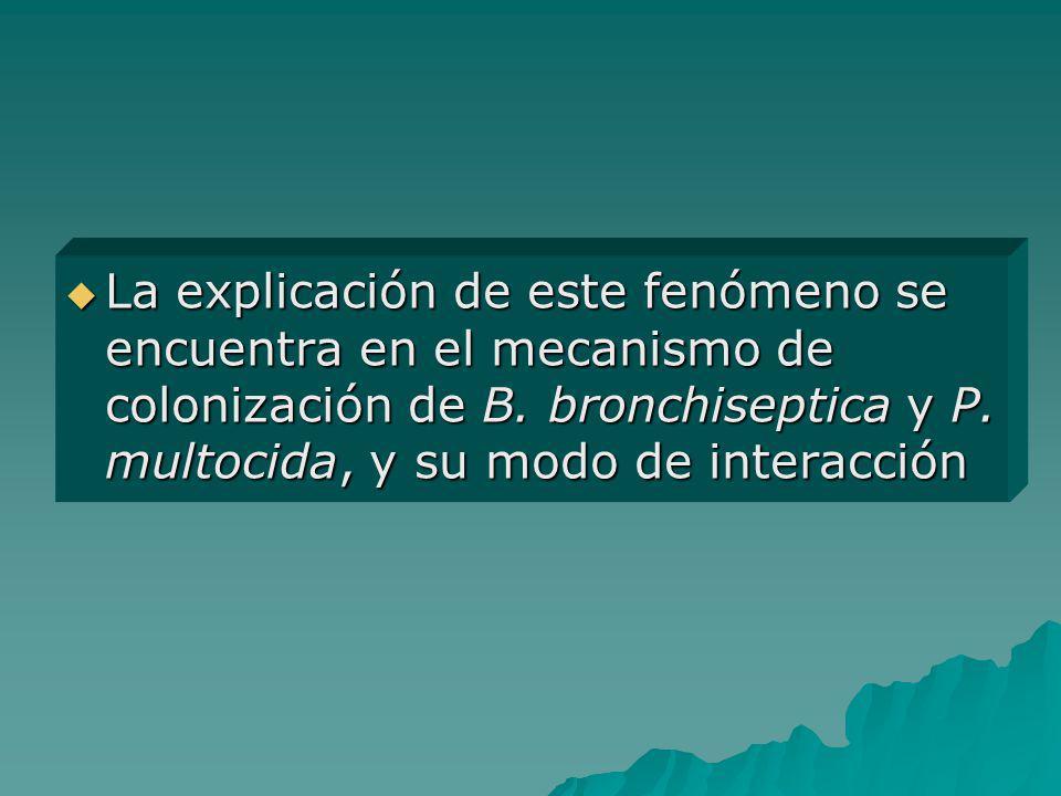 La explicación de este fenómeno se encuentra en el mecanismo de colonización de B. bronchiseptica y P. multocida, y su modo de interacción La explicac