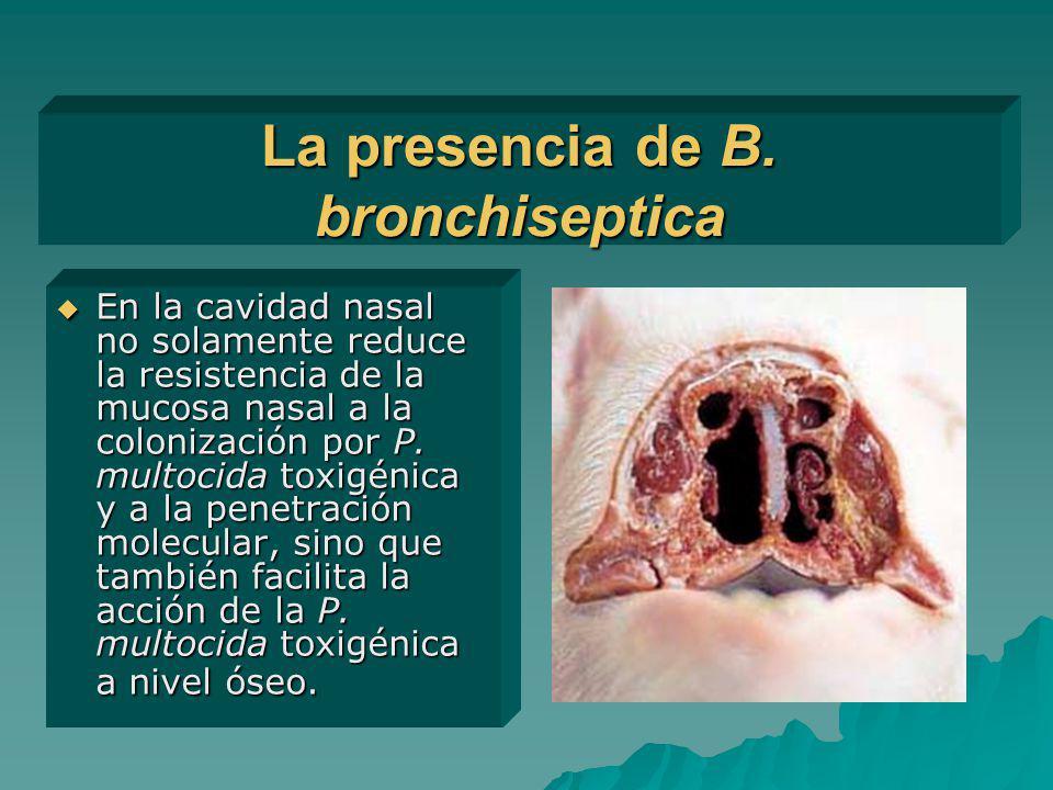 La presencia de B. bronchiseptica En la cavidad nasal no solamente reduce la resistencia de la mucosa nasal a la colonización por P. multocida toxigén