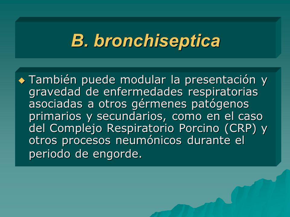 B. bronchiseptica También puede modular la presentación y gravedad de enfermedades respiratorias asociadas a otros gérmenes patógenos primarios y secu