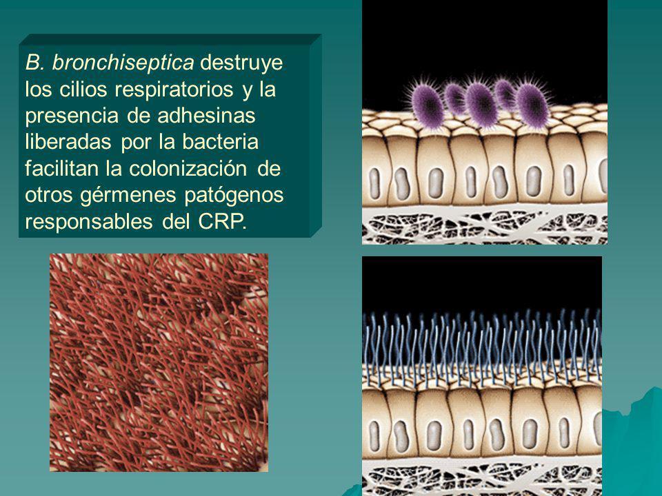 B. bronchiseptica destruye los cilios respiratorios y la presencia de adhesinas liberadas por la bacteria facilitan la colonización de otros gérmenes