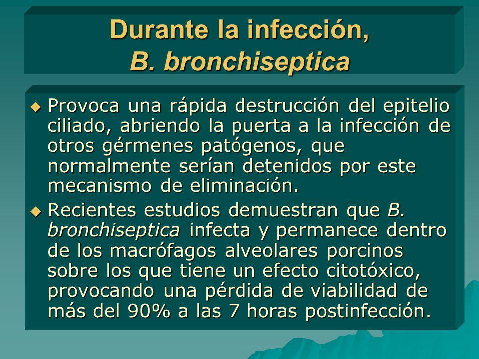 Durante la infección, B. bronchiseptica Provoca una rápida destrucción del epitelio ciliado, abriendo la puerta a la infección de otros gérmenes patóg
