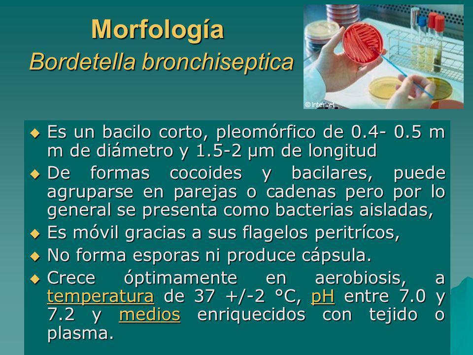 Morfología Bordetella bronchiseptica Es un bacilo corto, pleomórfico de 0.4- 0.5 m m de diámetro y 1.5-2 µm de longitud Es un bacilo corto, pleomórfic