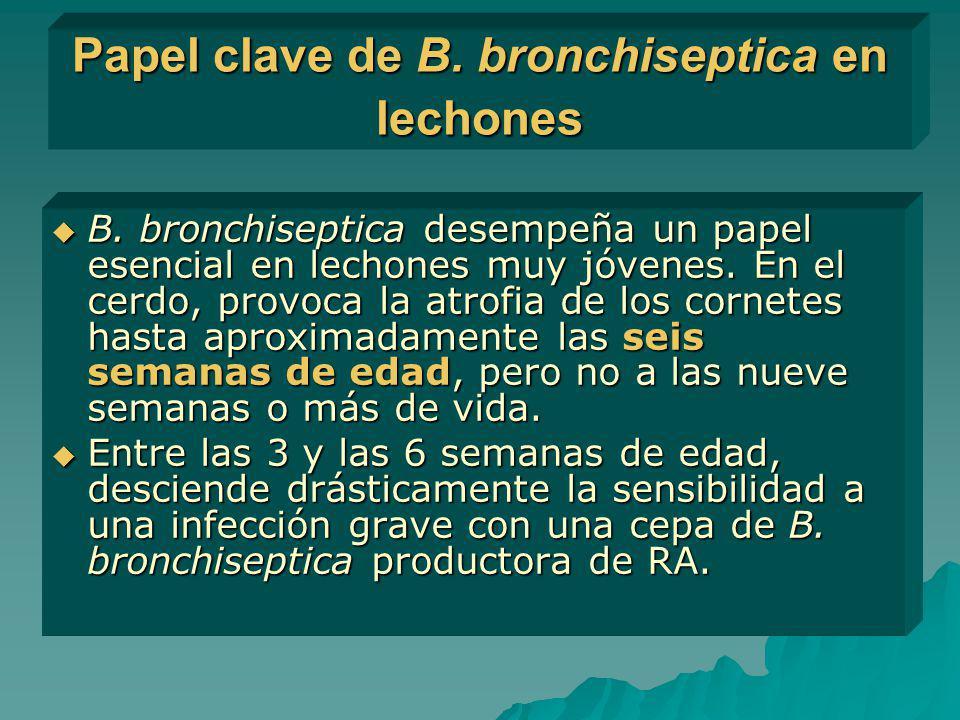 Papel clave de B. bronchiseptica en lechones B. bronchiseptica desempeña un papel esencial en lechones muy jóvenes. En el cerdo, provoca la atrofia de