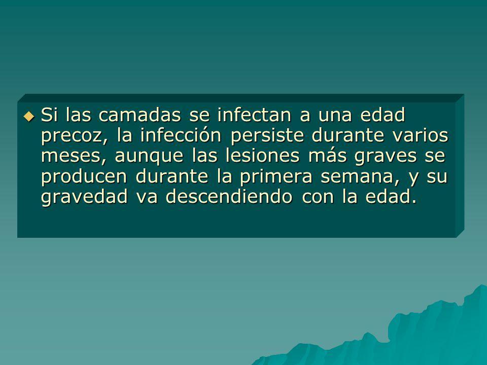 Si las camadas se infectan a una edad precoz, la infección persiste durante varios meses, aunque las lesiones más graves se producen durante la primer