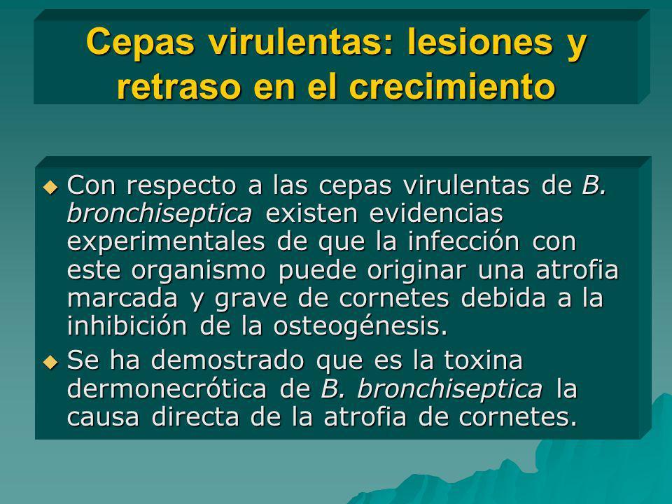 Cepas virulentas: lesiones y retraso en el crecimiento Con respecto a las cepas virulentas de B. bronchiseptica existen evidencias experimentales de q
