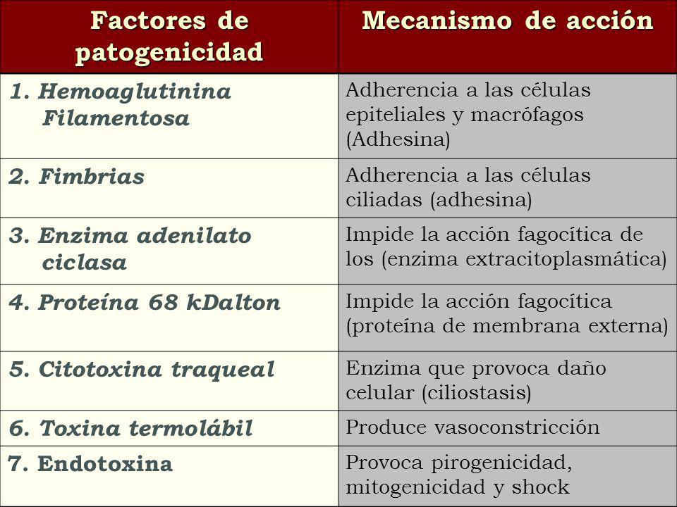 Factores de patogenicidad Mecanismo de acción 1. Hemoaglutinina Filamentosa Adherencia a las células epiteliales y macrófagos (Adhesina) 2. Fimbrias A