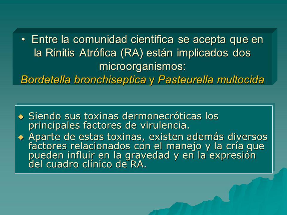Entre la comunidad científica se acepta que en la Rinitis Atrófica (RA) están implicados dos microorganismos: Bordetella bronchiseptica y Pasteurella