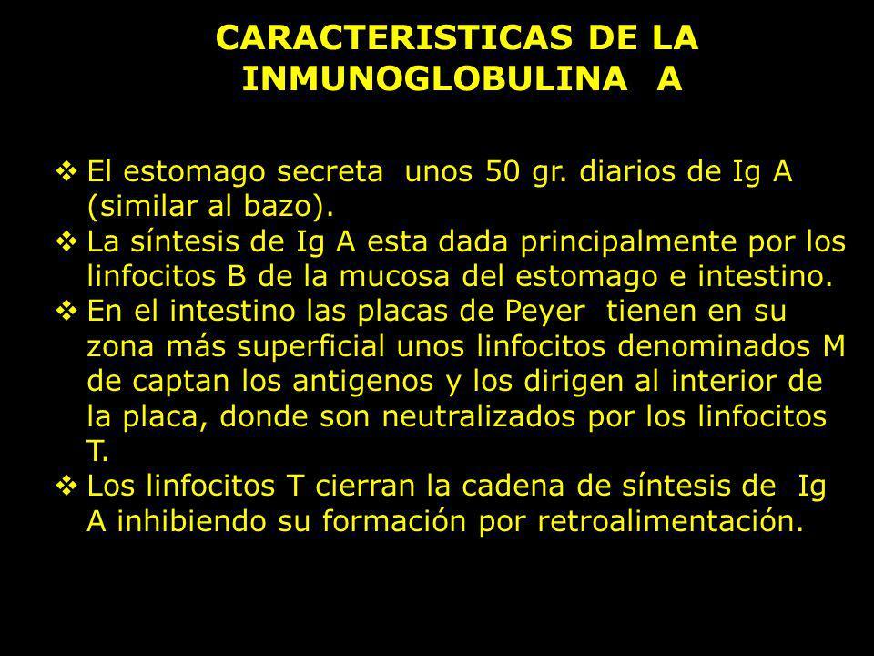 CARACTERISTICAS DE LA INMUNOGLOBULINA A El estomago secreta unos 50 gr. diarios de Ig A (similar al bazo). La síntesis de Ig A esta dada principalment