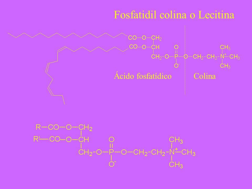 Fosfatidil colina o Lecitina Ácido fosfatídicoColina