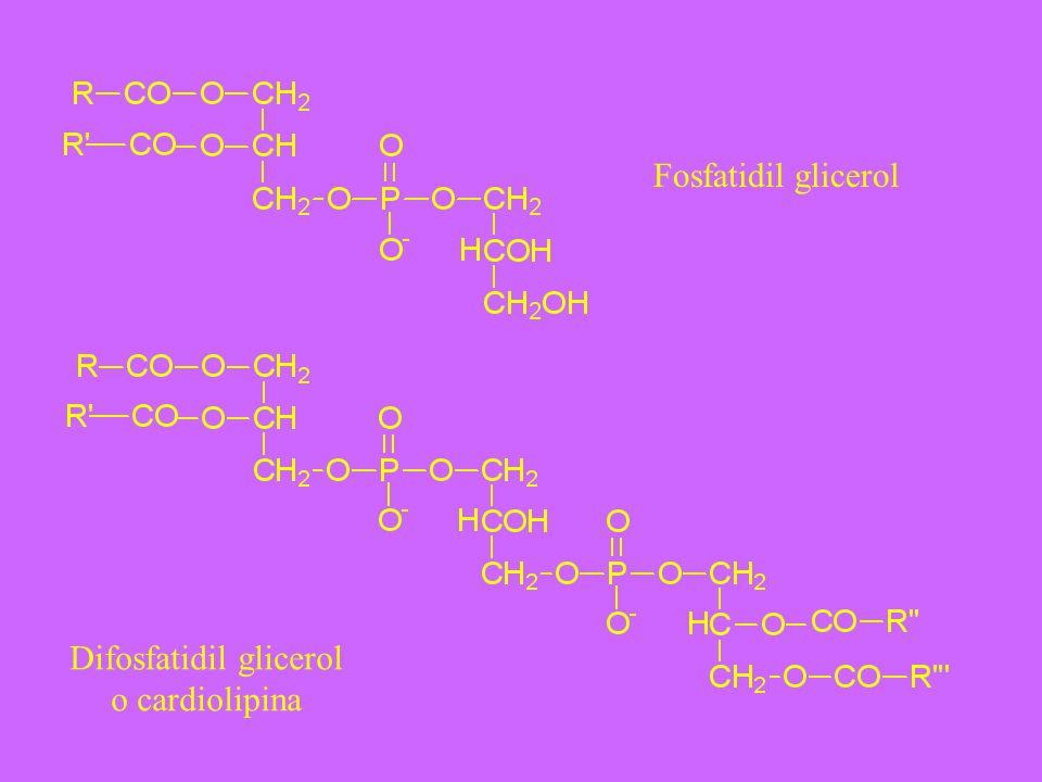 Fosfatidil glicerol Difosfatidil glicerol o cardiolipina