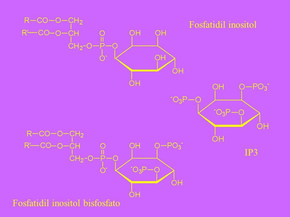 Fosfatidil inositol Fosfatidil inositol bisfosfato IP3