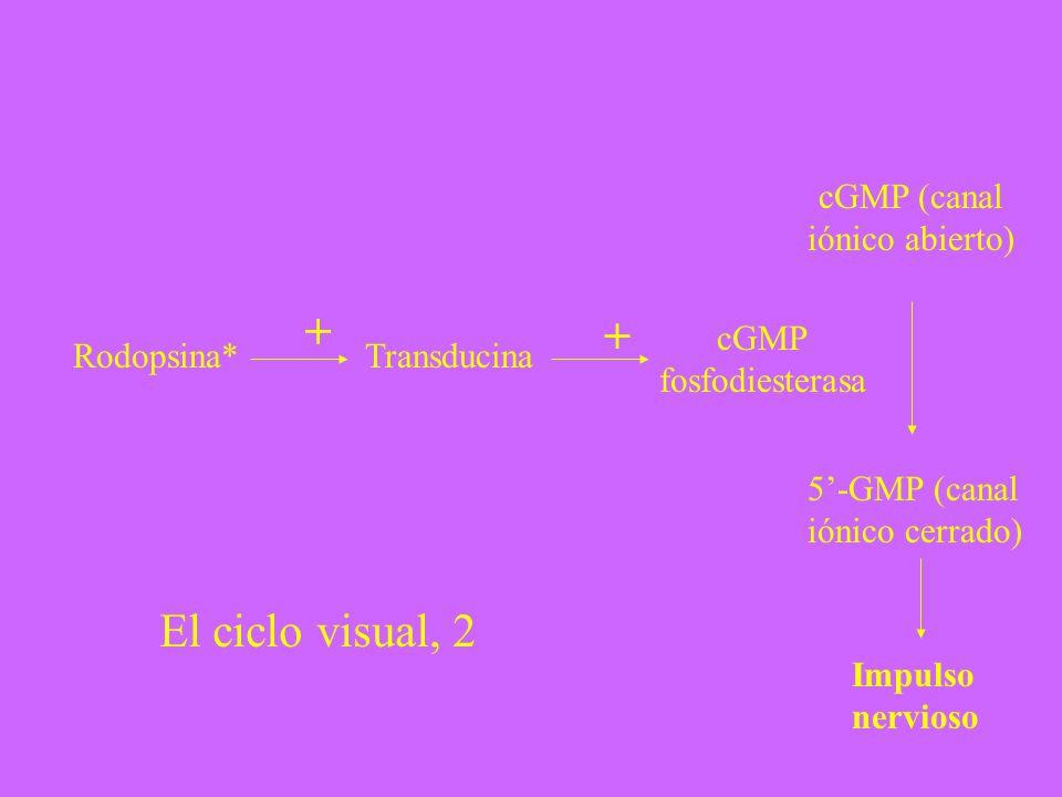 Rodopsina* + Transducina + cGMP fosfodiesterasa cGMP (canal iónico abierto) 5-GMP (canal iónico cerrado) Impulso nervioso El ciclo visual, 2