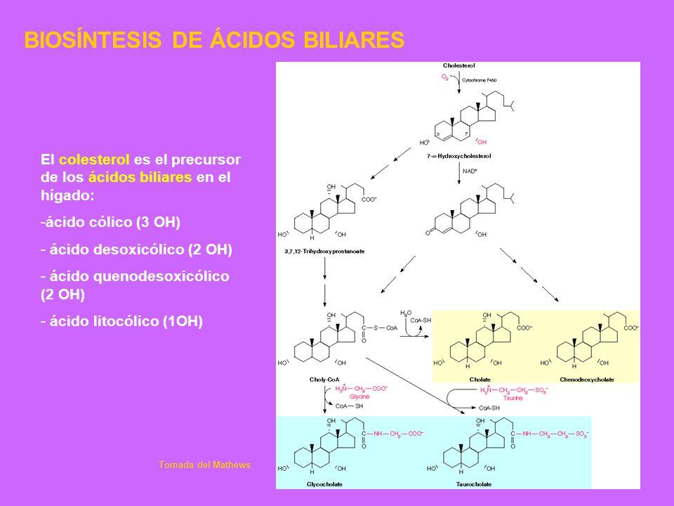 BIOSÍNTESIS DE ÁCIDOS BILIARES El colesterol es el precursor de los ácidos biliares en el hígado: -ácido cólico (3 OH) - ácido desoxicólico (2 OH) - á