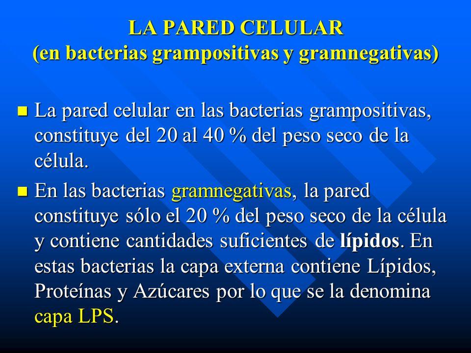 LA PARED CELULAR (en bacterias grampositivas y gramnegativas) La pared celular en las bacterias grampositivas, constituye del 20 al 40 % del peso seco de la célula.