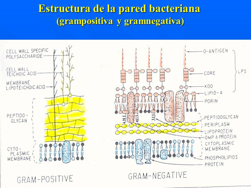 Estructura de la pared bacteriana Estructura de la pared bacteriana (grampositiva y gramnegativa)