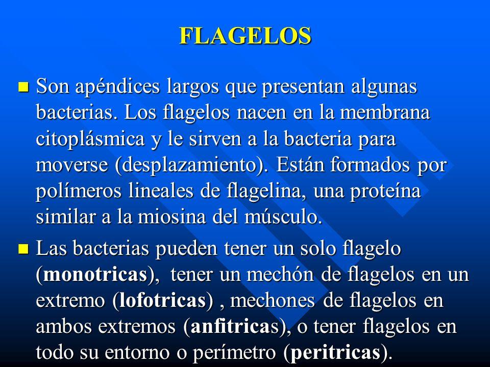 FLAGELOS Son apéndices largos que presentan algunas bacterias. Los flagelos nacen en la membrana citoplásmica y le sirven a la bacteria para moverse (