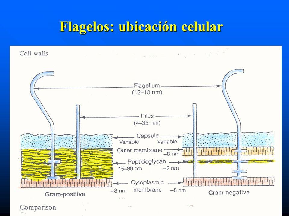 Flagelos: ubicación celular