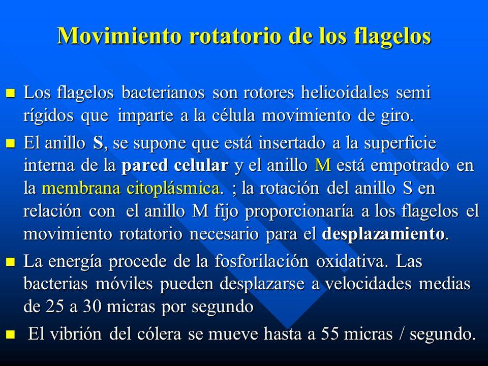 Movimiento rotatorio de los flagelos Los flagelos bacterianos son rotores helicoidales semi rígidos que imparte a la célula movimiento de giro. Los fl