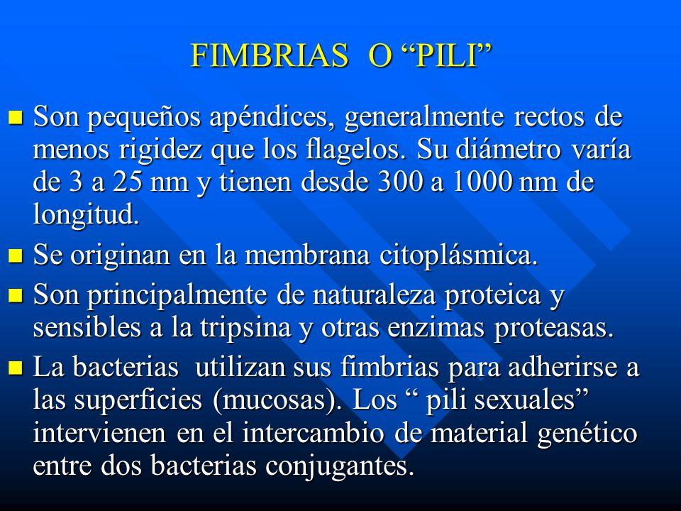FIMBRIAS O PILI Son pequeños apéndices, generalmente rectos de menos rigidez que los flagelos. Su diámetro varía de 3 a 25 nm y tienen desde 300 a 100