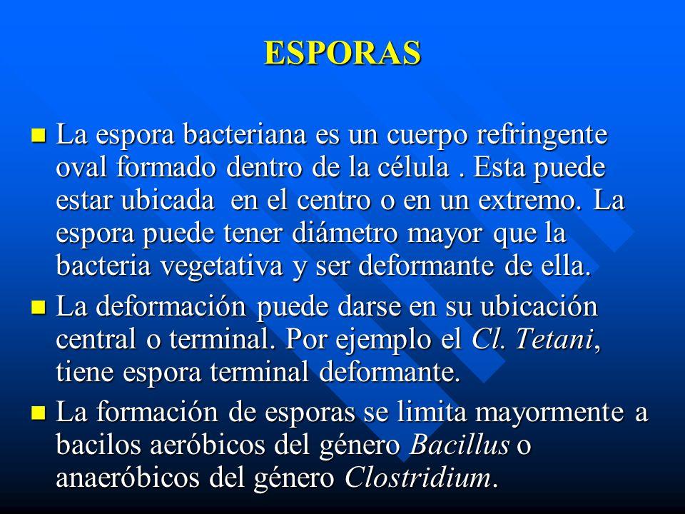 ESPORAS La espora bacteriana es un cuerpo refringente oval formado dentro de la célula. Esta puede estar ubicada en el centro o en un extremo. La espo