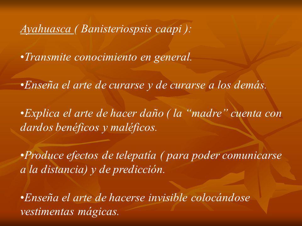 Ayahuasca ( Banisteriospsis caapi ): Transmite conocimiento en general. Enseña el arte de curarse y de curarse a los demás. Explica el arte de hacer d