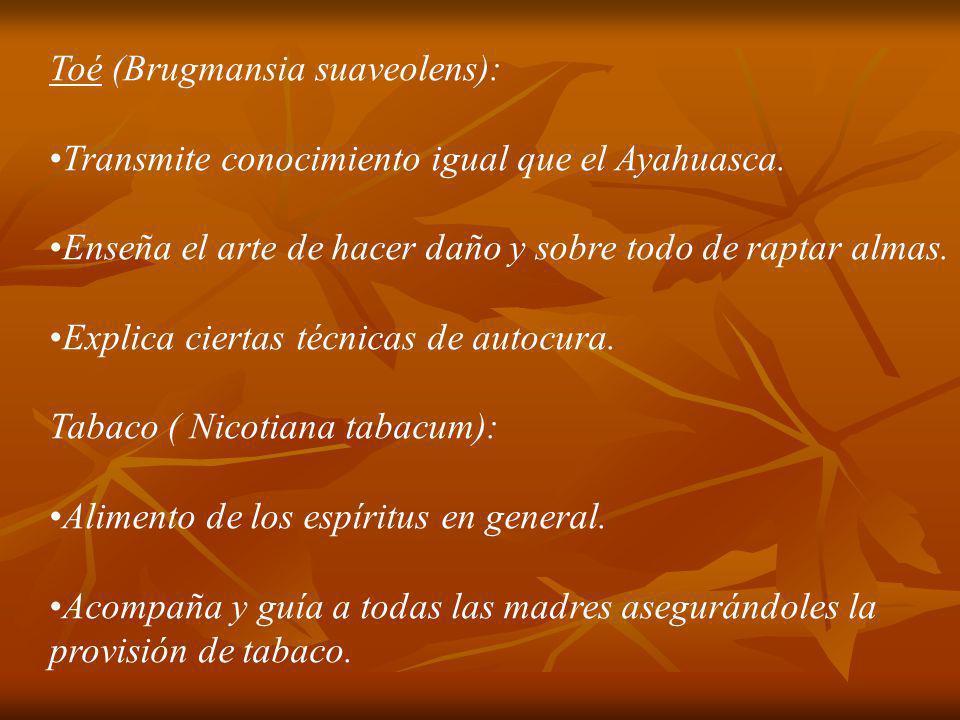 Toé (Brugmansia suaveolens): Transmite conocimiento igual que el Ayahuasca. Enseña el arte de hacer daño y sobre todo de raptar almas. Explica ciertas