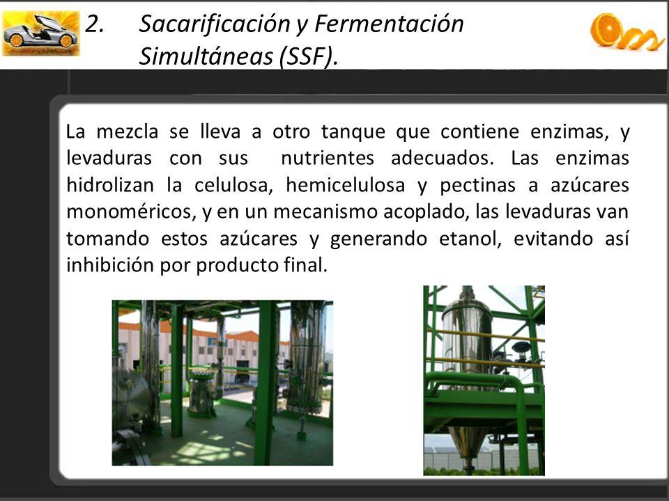 2.Sacarificación y Fermentación Simultáneas (SSF). La mezcla se lleva a otro tanque que contiene enzimas, y levaduras con sus nutrientes adecuados. La