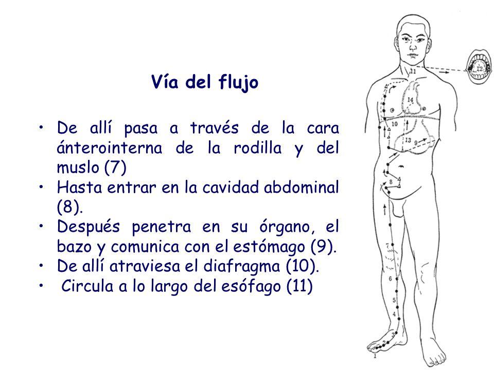 De allí pasa a través de la cara ánterointerna de la rodilla y del muslo (7) Hasta entrar en la cavidad abdominal (8). Después penetra en su órgano, e