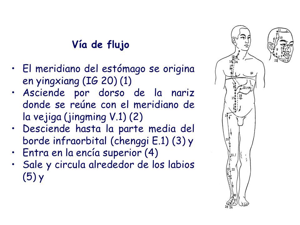 Vía de flujo El meridiano del estómago se origina en yingxiang (IG 20) (1) Asciende por dorso de la nariz donde se reúne con el meridiano de la vejiga