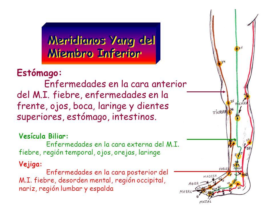 Meridianos Yang del Miembro Inferior Meridianos Yang del Miembro Inferior Estómago: Enfermedades en la cara anterior del M.I. fiebre, enfermedades en