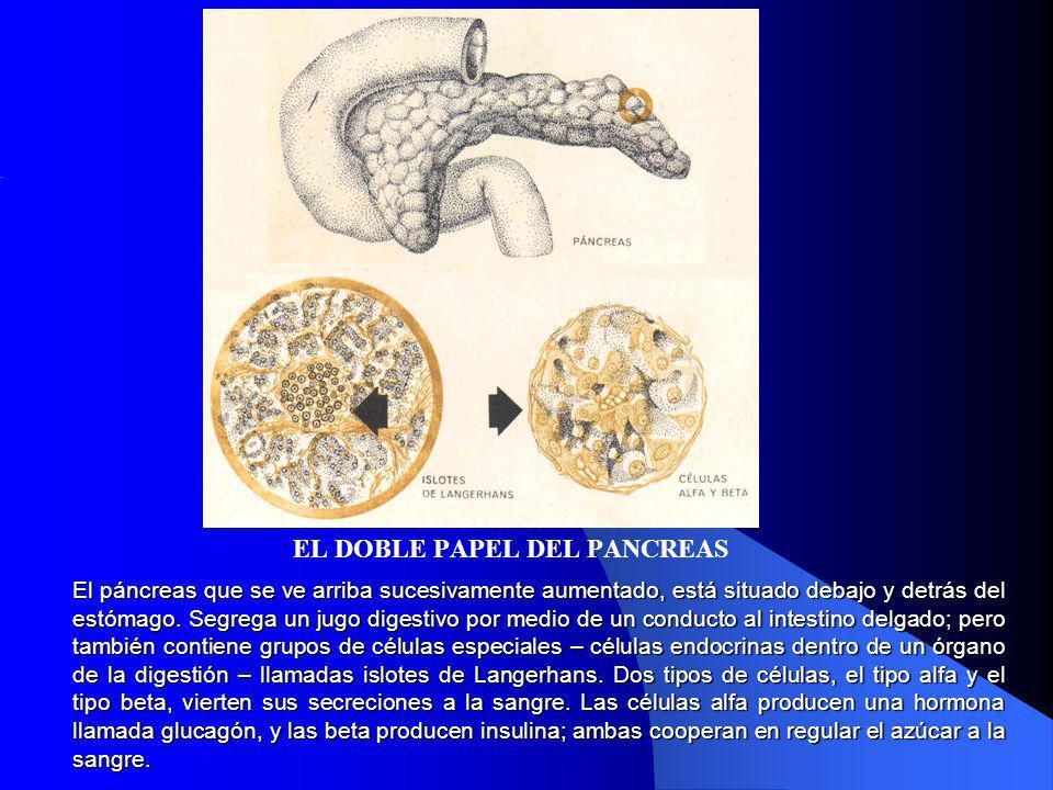 El páncreas que se ve arriba sucesivamente aumentado, está situado debajo y detrás del estómago. Segrega un jugo digestivo por medio de un conducto al