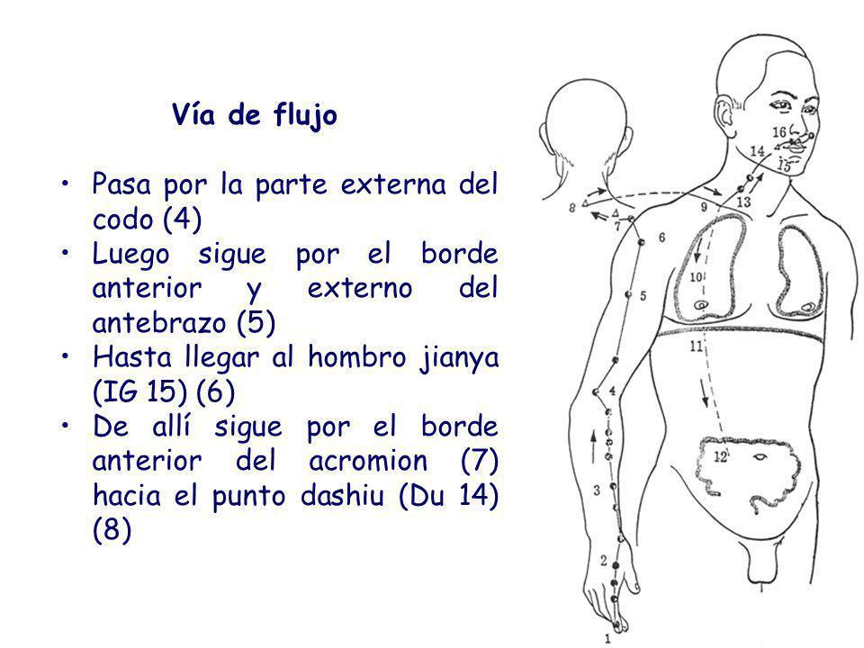 Vía de flujo Pasa por la parte externa del codo (4) Luego sigue por el borde anterior y externo del antebrazo (5) Hasta llegar al hombro jianya (IG 15) (6) De allí sigue por el borde anterior del acromion (7) hacia el punto dashiu (Du 14) (8)