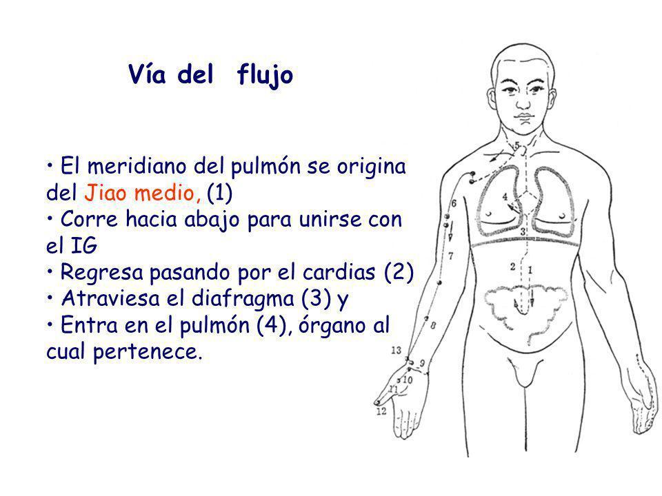 Vía del flujo El meridiano del pulmón se origina del Jiao medio, (1) Corre hacia abajo para unirse con el IG Regresa pasando por el cardias (2) Atraviesa el diafragma (3) y Entra en el pulmón (4), órgano al cual pertenece.