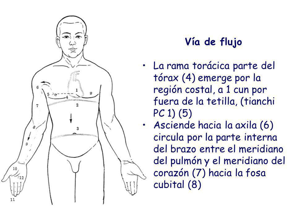 Vía de flujo La rama torácica parte del tórax (4) emerge por la región costal, a 1 cun por fuera de la tetilla, (tianchi PC 1) (5) Asciende hacia la axila (6) circula por la parte interna del brazo entre el meridiano del pulmón y el meridiano del corazón (7) hacia la fosa cubital (8)