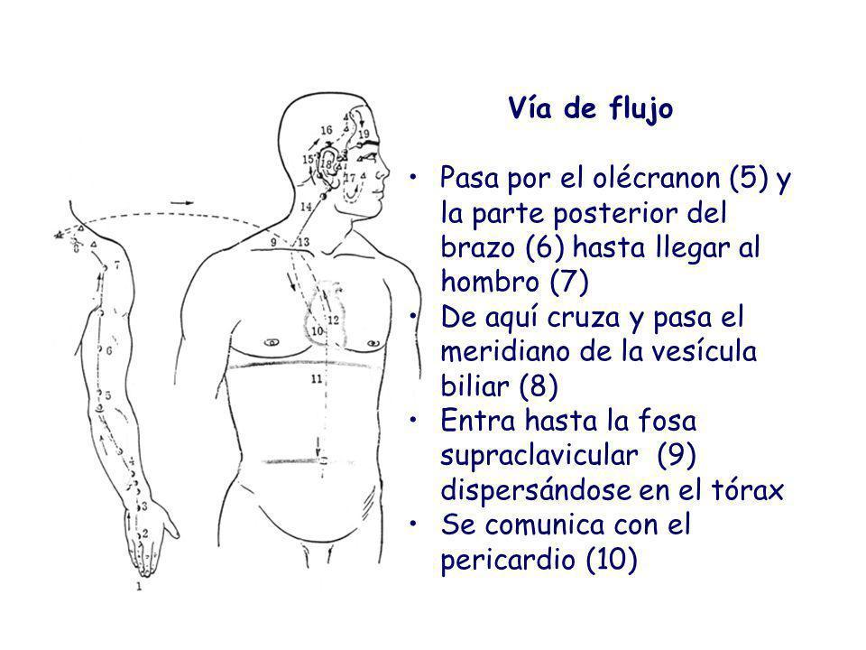 Vía de flujo Pasa por el olécranon (5) y la parte posterior del brazo (6) hasta llegar al hombro (7) De aquí cruza y pasa el meridiano de la vesícula biliar (8) Entra hasta la fosa supraclavicular (9) dispersándose en el tórax Se comunica con el pericardio (10)