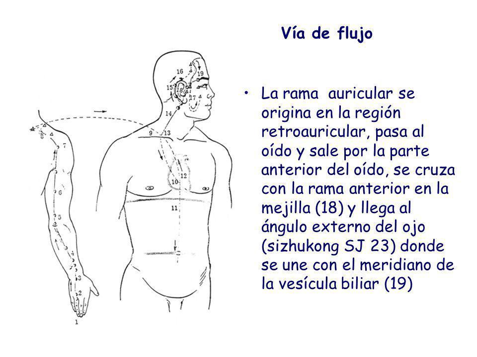 Vía de flujo La rama auricular se origina en la región retroauricular, pasa al oído y sale por la parte anterior del oído, se cruza con la rama anterior en la mejilla (18) y llega al ángulo externo del ojo (sizhukong SJ 23) donde se une con el meridiano de la vesícula biliar (19)
