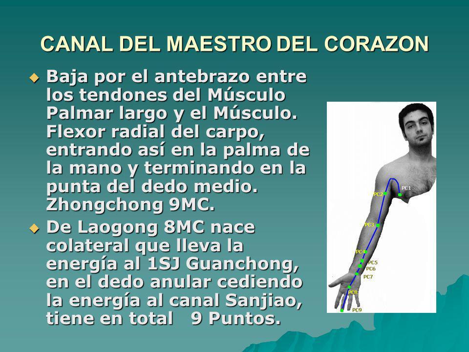 CANAL DEL MAESTRO DEL CORAZON Baja por el antebrazo entre los tendones del Músculo Palmar largo y el Músculo. Flexor radial del carpo, entrando así en