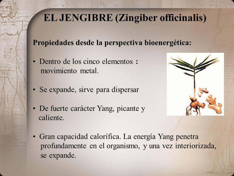 EL JENGIBRE (Zingiber officinalis) Propiedades desde la perspectiva bioenergética: Dentro de los cinco elementos : movimiento metal. Se expande, sirve