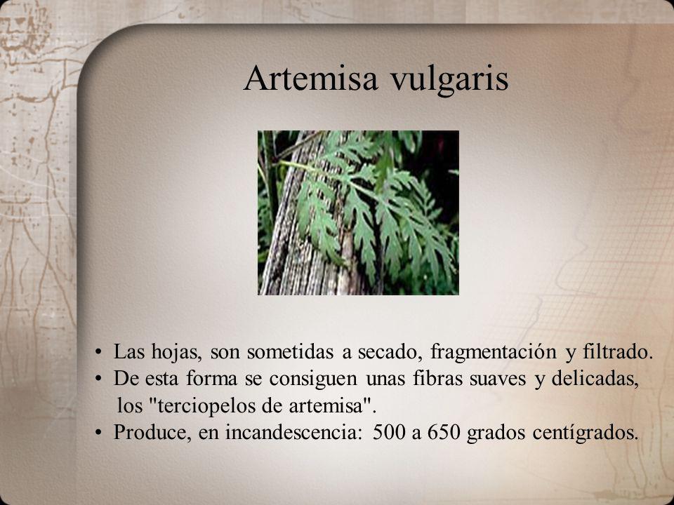 Artemisa vulgaris Las hojas, son sometidas a secado, fragmentación y filtrado. De esta forma se consiguen unas fibras suaves y delicadas, los