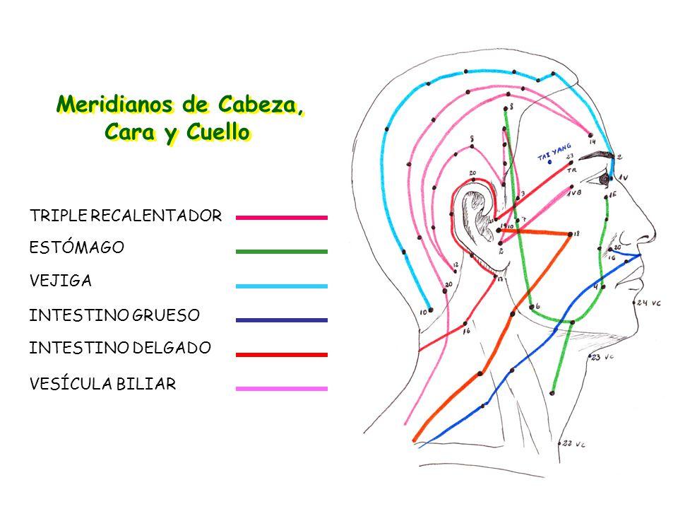 Meridianos de Cabeza, Cara y Cuello Meridianos de Cabeza, Cara y Cuello TRIPLE RECALENTADOR ESTÓMAGO VEJIGA INTESTINO GRUESO INTESTINO DELGADO VESÍCULA BILIAR